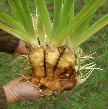 Orris Root Absolute Oil